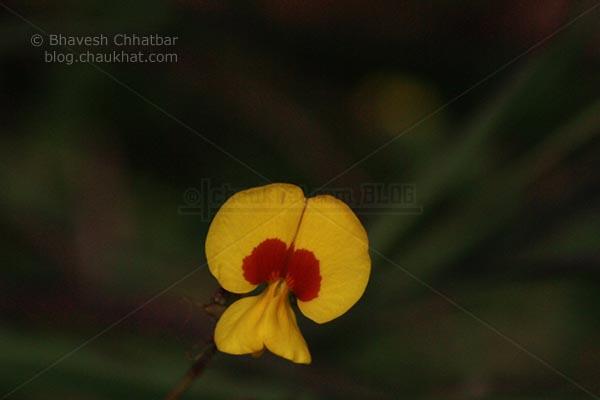 Bristly Smithia [AKA Smithia Setulosa, Motha Kawla, मोठा कवला]
